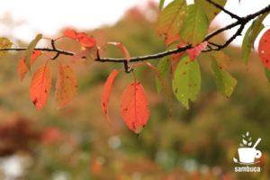 サクラの紅葉