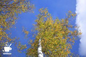 シラカバの秋
