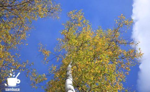 黄葉したシラカバの木