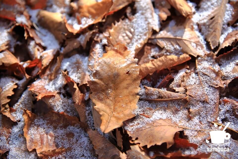 ミズナラの枯葉