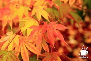 色とりどりのイロハモミジの葉