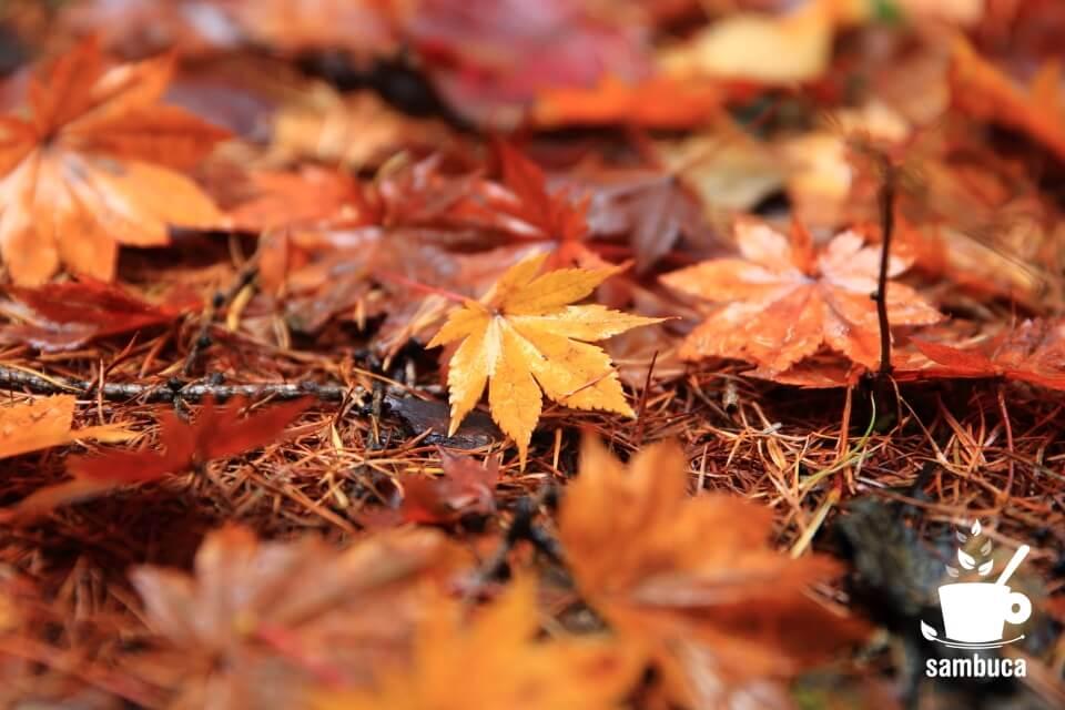 イロハモミジとカラマツの枯葉