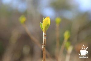 アジサイの春の芽吹き