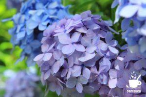 アジサイの青い花