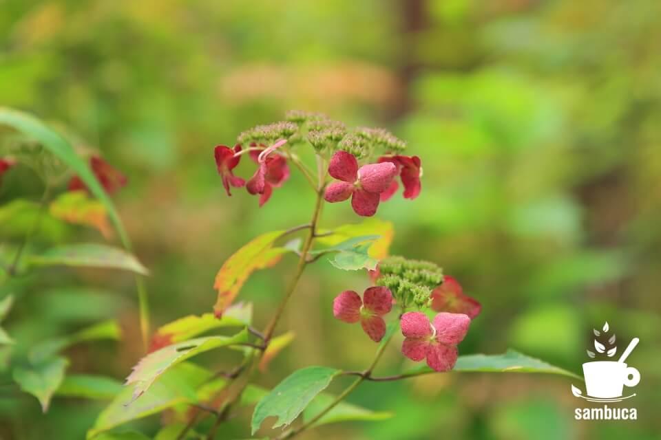 花期が終わったアジサイの花