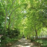 新緑のプラタナスの並木、林試の森公園にて