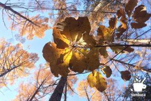 秋のホオノキ