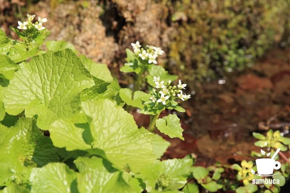 ワサビの花