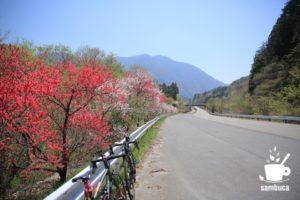 赤、白、赤、白と並ぶハナモモの街道