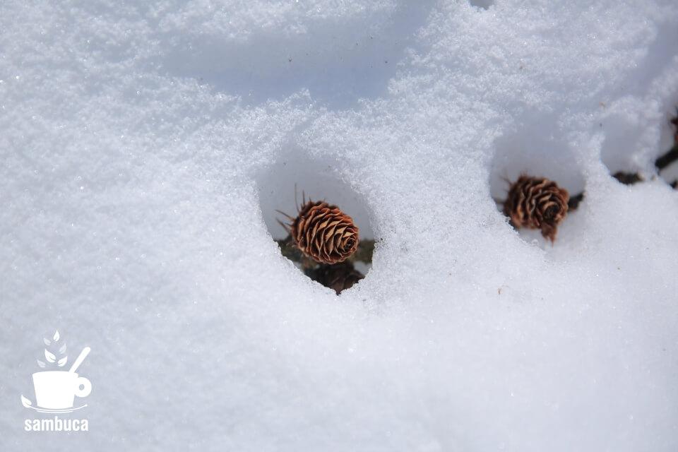 雪から顔を出したカラマツの松ぼっくり