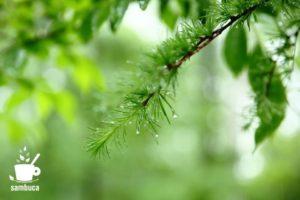 雨のカラマツ林