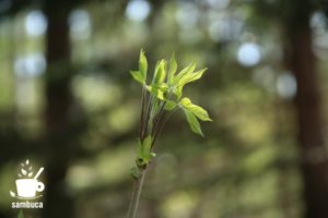 コシアブラの芽吹き