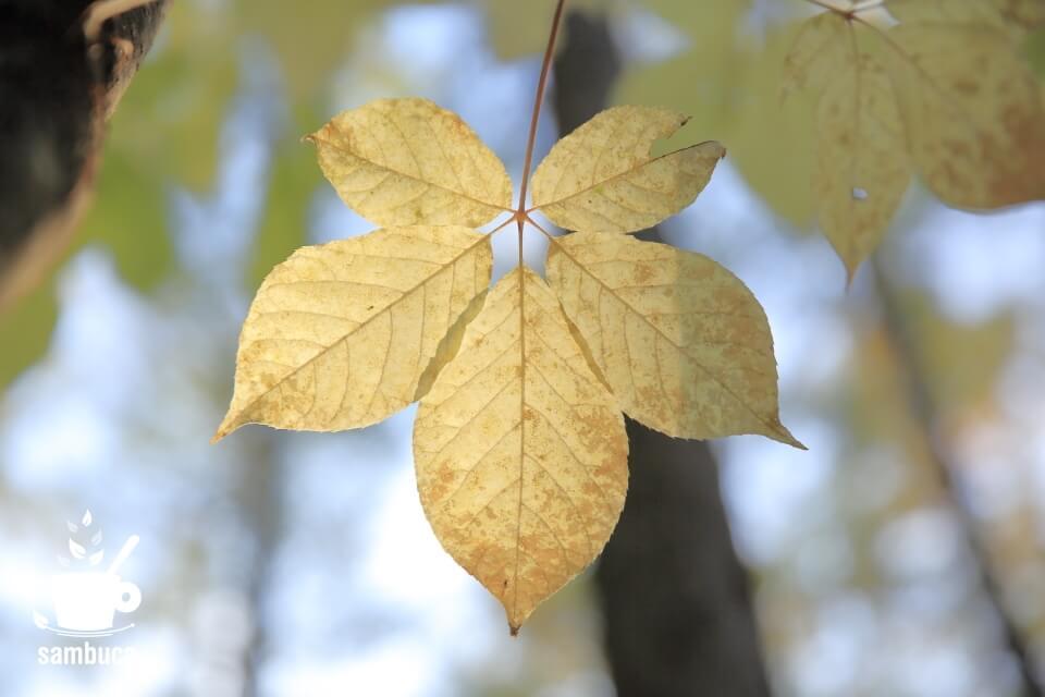 白っぽく黄葉したコシアブラの葉