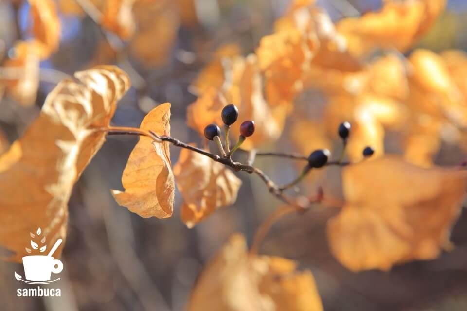 ダンコウバイの秋