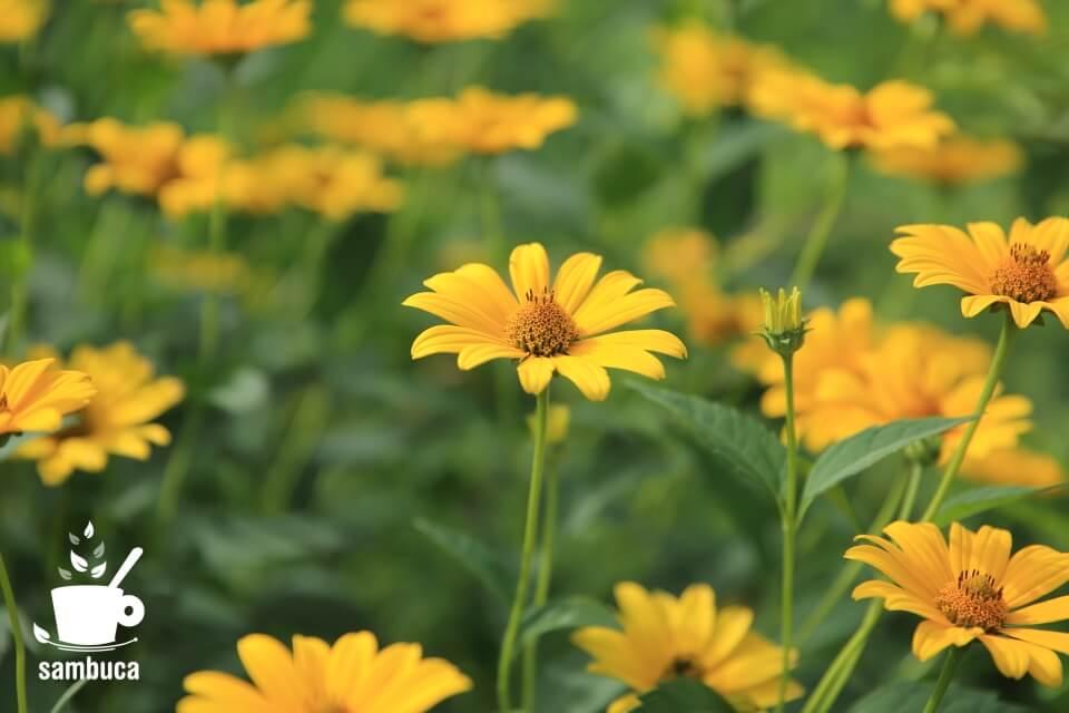ヘリアンサスの花