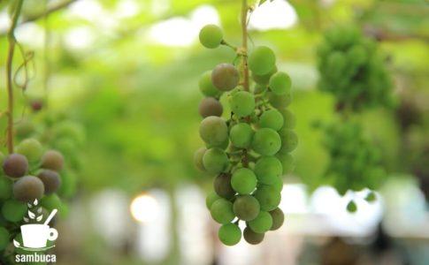 栃木県、足利市のココファーム・ワイナリーのブドウ