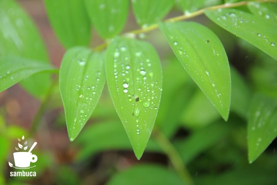 アマドコロの葉