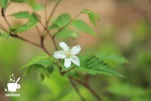 ミヤマニガイチゴの花