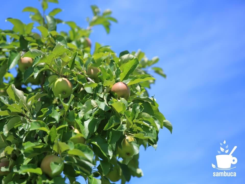 青空とリンゴ畑