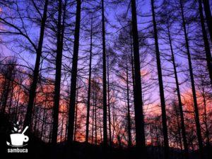 カラマツ林の夕景