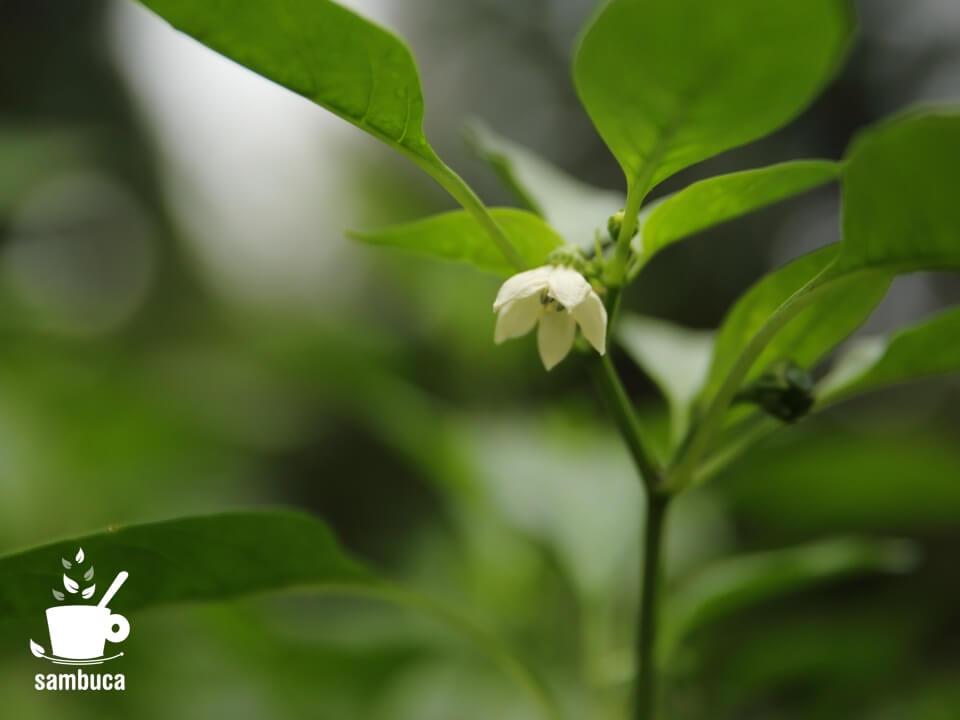 ピーマンの花