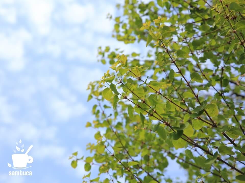カツラの新緑