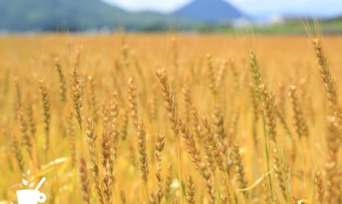 滋賀県の小麦畑にて