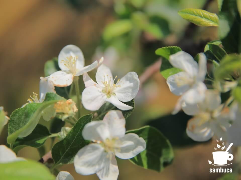 リンゴの白い花