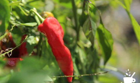 トウガラシの赤い実