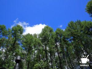夏のカラマツ林