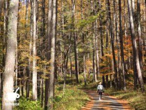 鳥居峠の山道に入るとカラマツ林