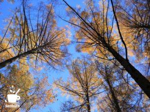 黄葉のカラマツ林から見える空