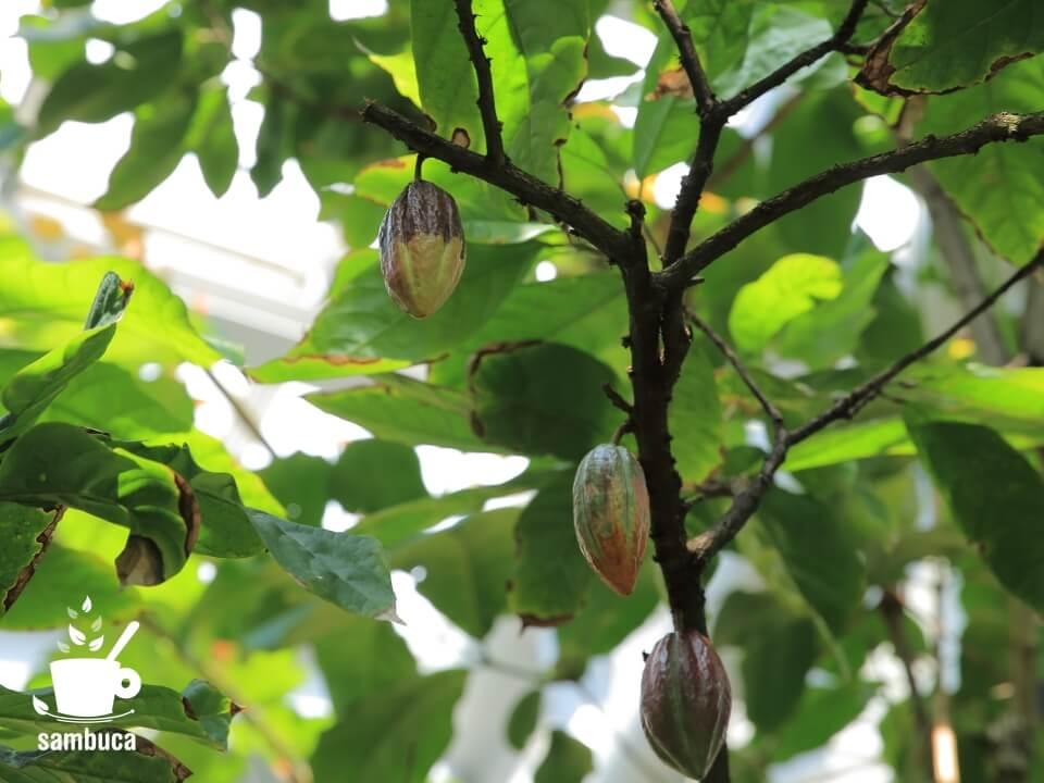 カカオの木にカカオポッド(カカオの実)が