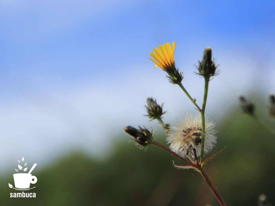 コウゾリナの花と綿毛