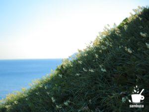 灘黒岩水仙郷の急斜面とスイセン