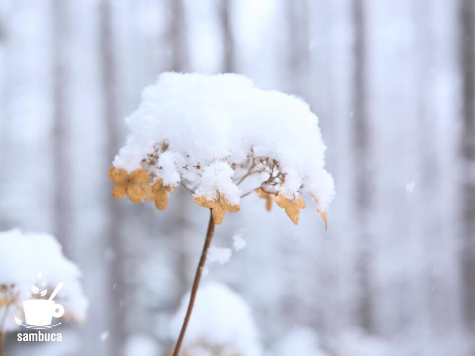 雪を被ったタマアジサイ