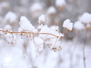 雪をかぶったウド
