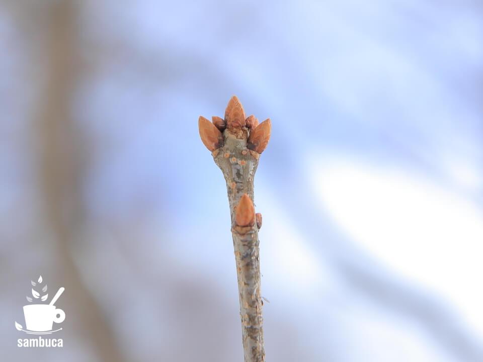 ミズナラの冬芽