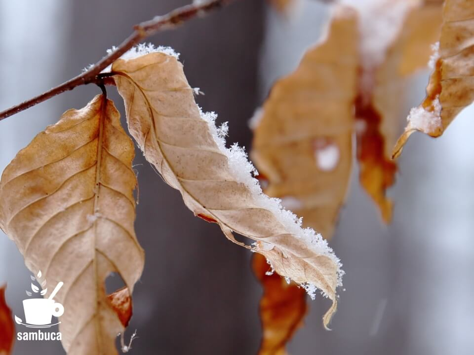 ブナの枯葉