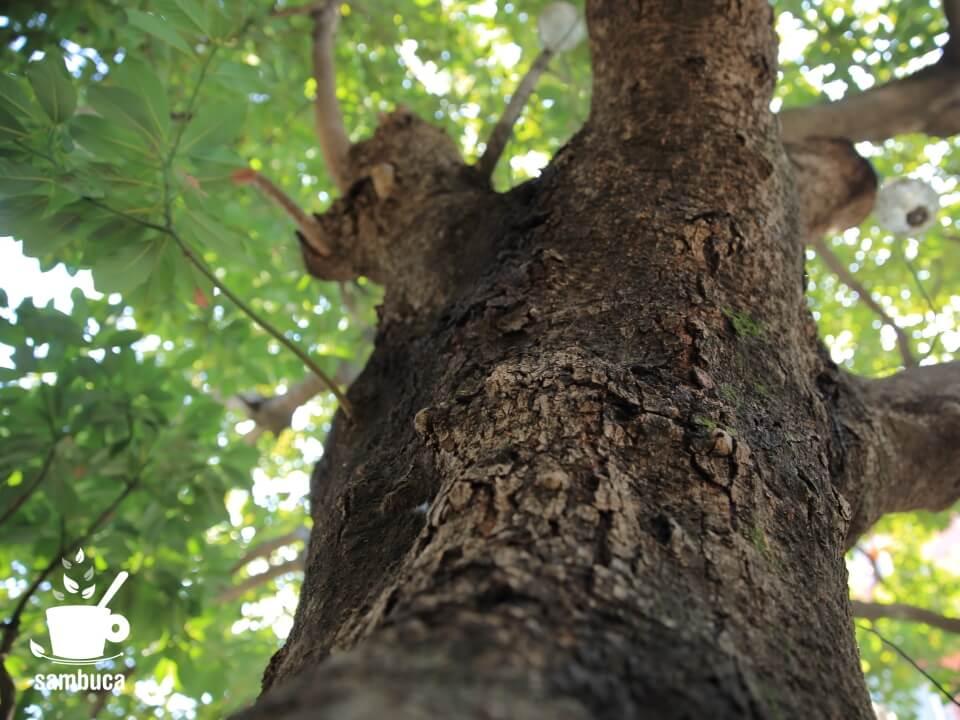 タブノキの樹皮。広尾、Fleur Universelle(フルール・ユニヴェセール)&Les Grands Arbres(レ・グラン・ザルブル)にて