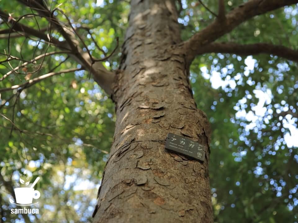 アカガシの樹皮(有栖川宮記念公園にて)