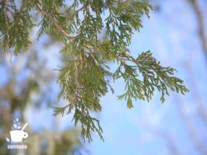 ネズコの葉