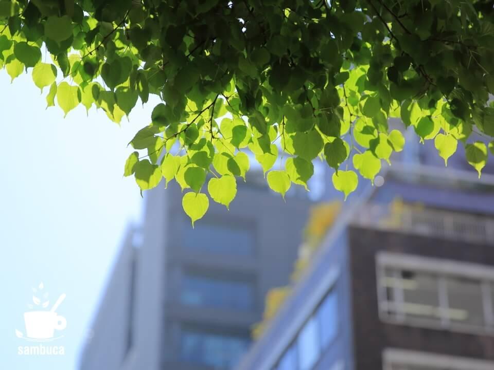 銀座・並木通りのシナノキ