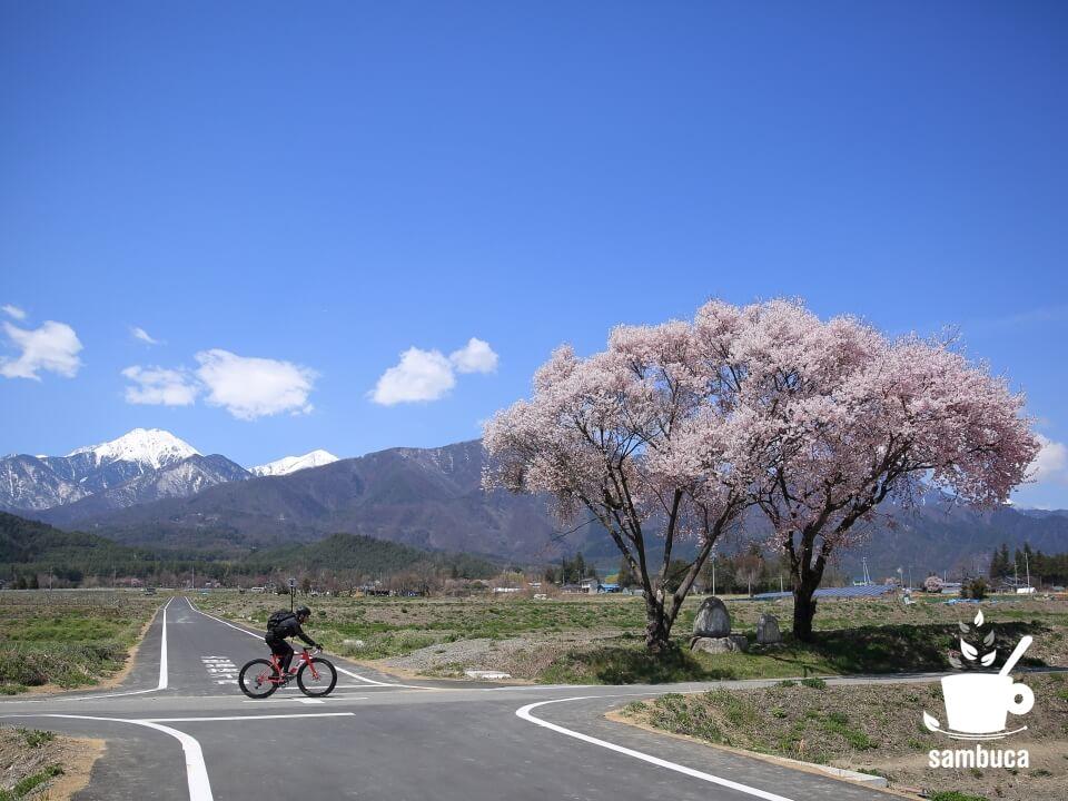 常念道祖神と満開のサクラの前を自転車で通過