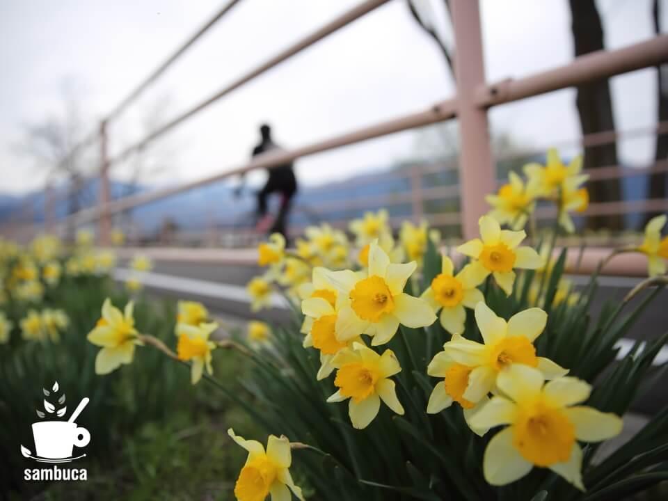「あづみ野やまびこ自転車道」沿いのスイセン
