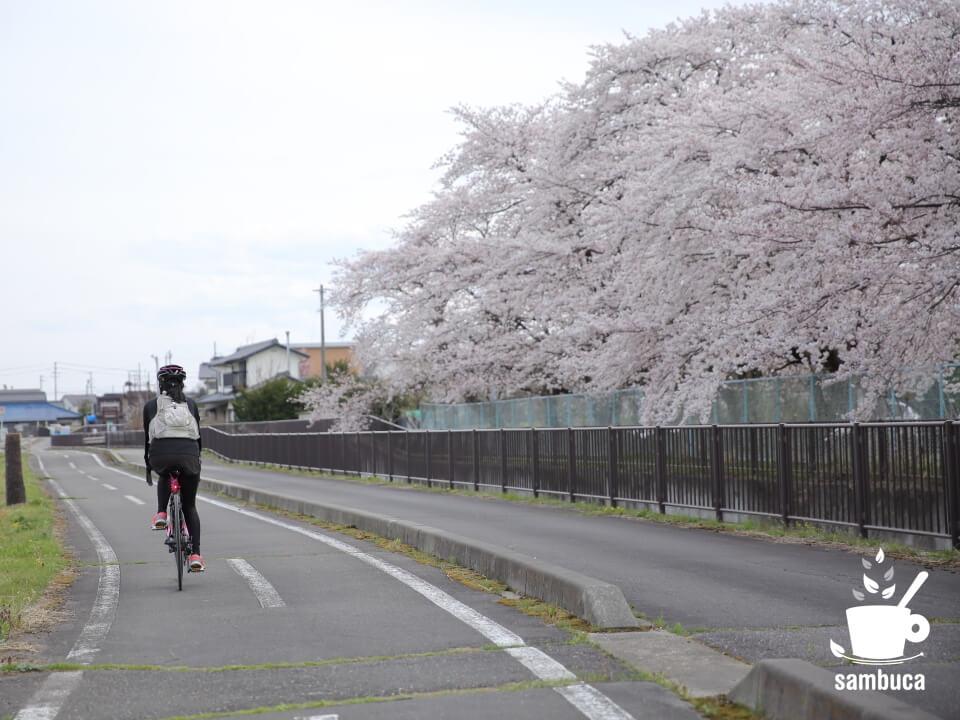 「あづみ野やまびこ自転車道」沿いの桜並木