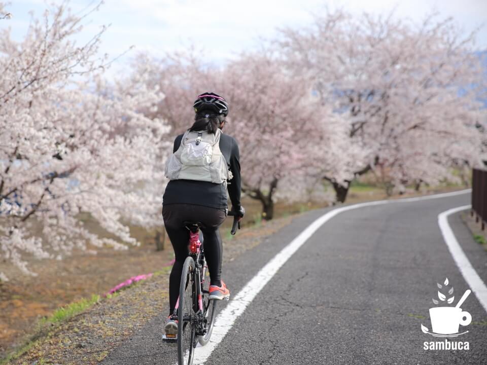 「あづみ野やまびこ自転車道」沿いの桜並木を通過
