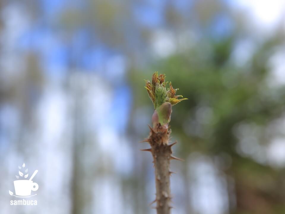 タラノキの新芽、タラの芽