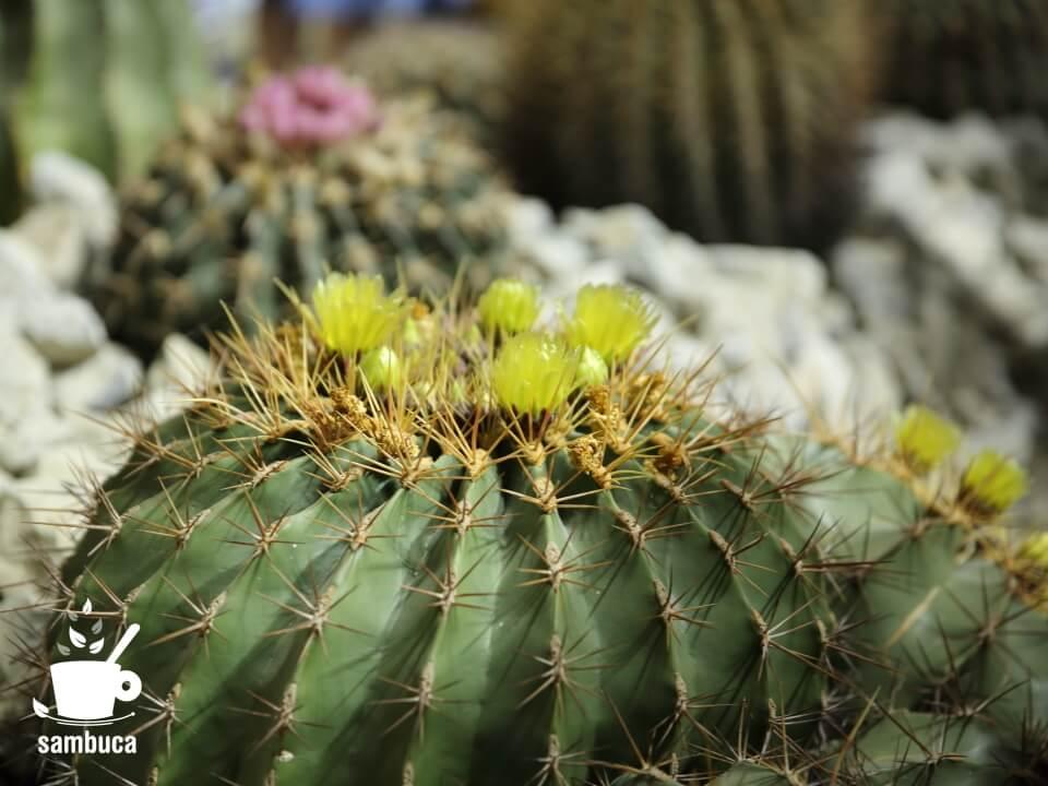 サボテンの花(そら植物園・西畠清順による信州産のサボテンのインスタレーション)