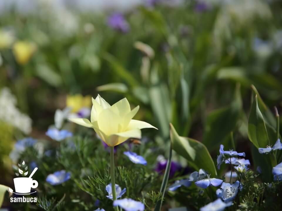 チューリップ(北アルプスと花の丘)